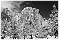 Snow-covered trees and West face of El Capitan. Yosemite National Park ( black and white)