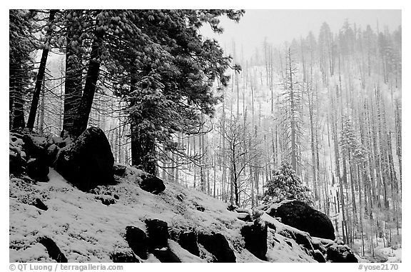 Forest with snow and fog, Wawona road. Yosemite National Park (black and white)