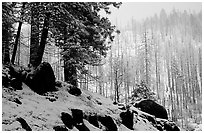 Forest with snow and fog, Wawona road. Yosemite National Park ( black and white)