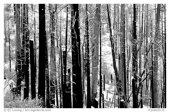 Burned forest in winter, Wawona road. Yosemite National Park (black and white)