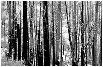 Burned forest in winter, Wawona road. Yosemite National Park, California, USA. (black and white)