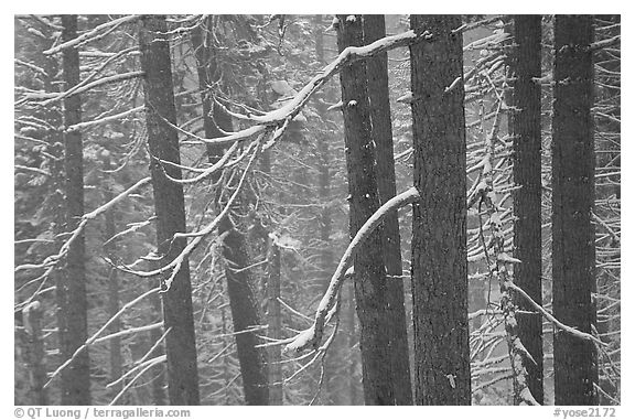 Lodgepole pine trees in winter, Badger Pass. Yosemite National Park, California, USA.