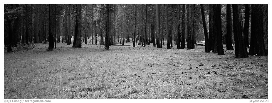 Lupine and burned forest. Yosemite National Park (black and white)