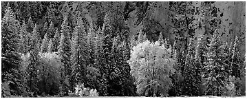 Snowy trees at the base of cliff. Yosemite National Park (Panoramic black and white)