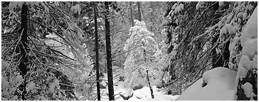 Forest with fresh snow. Yosemite National Park (Panoramic black and white)