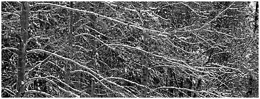 Snowy branches. Yosemite National Park (Panoramic black and white)