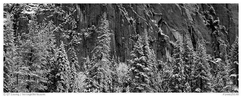 Snow-covered trees and dark cliff. Yosemite National Park (black and white)