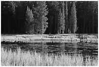 Grass in autumn, Siesta Lake. Yosemite National Park ( black and white)
