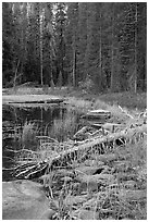 Shore with fall colors, Siesta Lake. Yosemite National Park ( black and white)