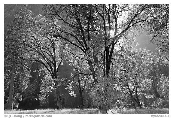 Oaks in fall foliage and Cathedral Rocks. Yosemite National Park (black and white)