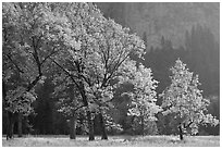 Oaks in autumn foliage, El Capitan meadow. Yosemite National Park, California, USA. (black and white)