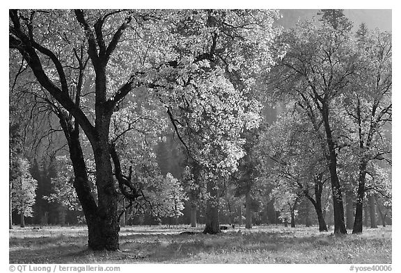 Black oaks with with autum leaves, El Capitan Meadow, afternoon. Yosemite National Park (black and white)