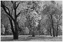 Black oaks with with autum leaves, El Capitan Meadow, afternoon. Yosemite National Park, California, USA. (black and white)