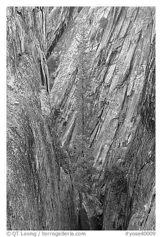 Pine tree growing in fissure near Taft Point. Yosemite National Park (black and white)