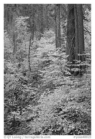 Undergrowth and forest in autumn foliage, Wawona Road. Yosemite National Park (black and white)