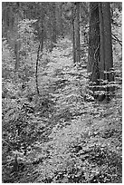 Undergrowth and forest in autumn foliage, Wawona Road. Yosemite National Park ( black and white)