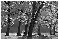 Black oaks in early fall foliage, El Capitan Meadow, morning. Yosemite National Park ( black and white)