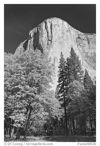 Trees in fall color and El Capitan. Yosemite National Park (black and white)