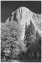 Trees in fall color and El Capitan. Yosemite National Park, California, USA. (black and white)