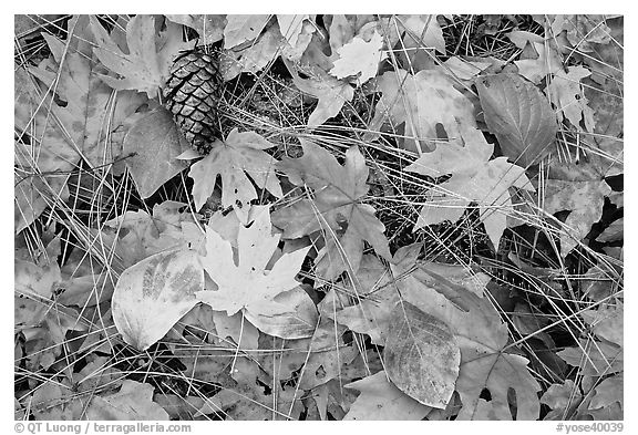 Fallen maple and dogwood leaves, pine needles and cone. Yosemite National Park (black and white)