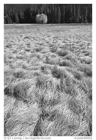 Grasses in autumn and aspen cluster, Ahwahnee Meadow. Yosemite National Park (black and white)