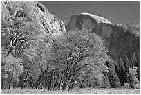 Trees in autumn foliage and Half Dome, Ahwahnee Meadow. Yosemite National Park ( black and white)