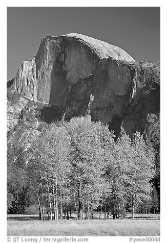 Aspens and Half Dome in autumn. Yosemite National Park (black and white)