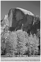 Aspens and Half Dome in autumn. Yosemite National Park, California, USA. (black and white)