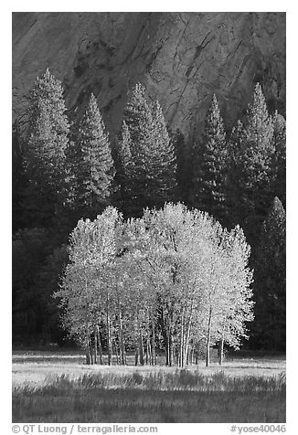 Aspens, Pine trees, and cliffs, late afternoon. Yosemite National Park (black and white)