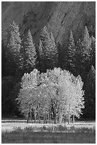 Aspens, Pine trees, and cliffs, late afternoon. Yosemite National Park, California, USA. (black and white)