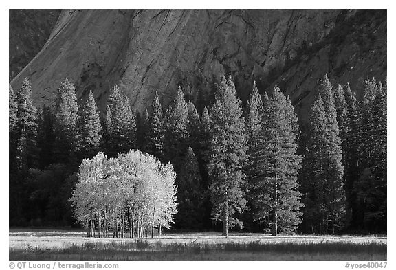 Aspens in fall foliage, evergreens, and cliffs. Yosemite National Park (black and white)