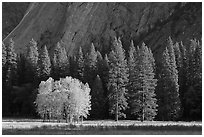 Aspens in fall foliage, evergreens, and cliffs. Yosemite National Park ( black and white)