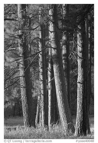 Pine trees, late afternoon. Yosemite National Park (black and white)