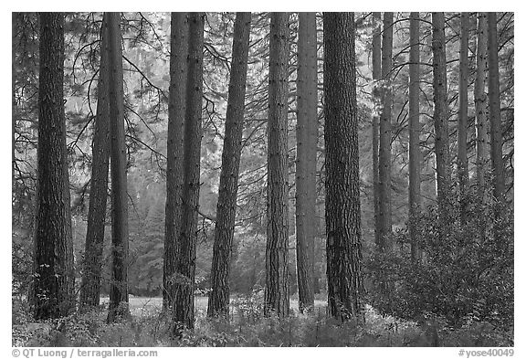 Pine trees bordering Cook Meadow. Yosemite National Park (black and white)