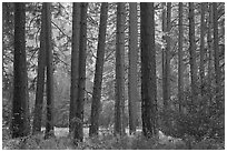 Pine trees bordering Cook Meadow. Yosemite National Park, California, USA. (black and white)