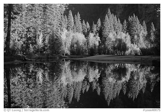 Sunlit trees and reflections, Merced River. Yosemite National Park (black and white)