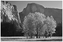 Aspen stand and Half-Dome, morning. Yosemite National Park, California, USA. (black and white)