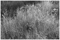 Close-up of grasses in autumn. Yosemite National Park ( black and white)