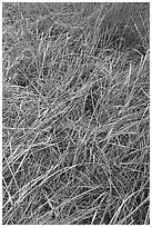 Grasses and morning frost. Yosemite National Park, California, USA. (black and white)