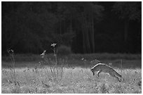 Coyote jumping in meadow. Yosemite National Park, California, USA. (black and white)