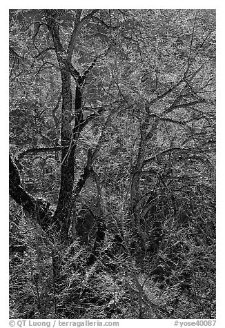 Branches of Elm tree and light. Yosemite National Park (black and white)