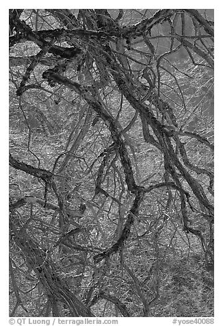 Dendritic branches pattern. Yosemite National Park (black and white)