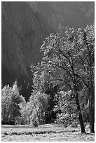 Autumn trees in Cook Meadow. Yosemite National Park ( black and white)