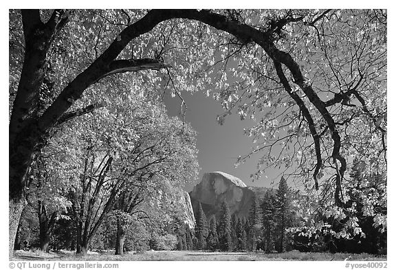 Arched branch with autumn leaves and Half-Dome. Yosemite National Park (black and white)