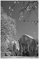 Half-Dome framed by branches with leaves in fall foliage. Yosemite National Park ( black and white)