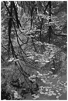 Fallen leaves and reflections. Yosemite National Park, California, USA. (black and white)