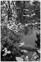 Creek with trees in autumn color reflected. Yosemite National Park, California, USA. (black and white)