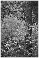 Dogwoods in autum foliage and trunk. Yosemite National Park, California, USA. (black and white)