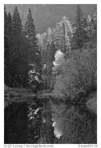 Sunlit autumn tree, Merced River. Yosemite National Park (black and white)