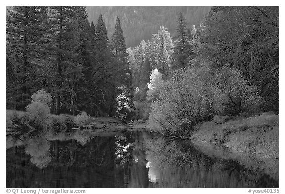 Bright autumn tree, Merced River. Yosemite National Park (black and white)